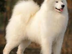 כלבי סמויד